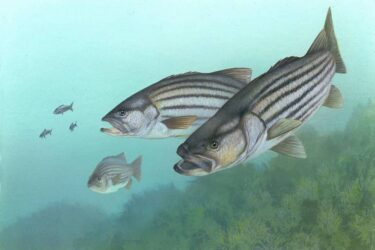 Are Stripe Bass Good To Eat